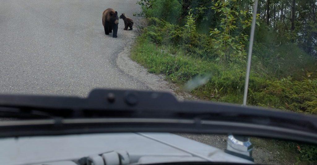 Des ours en pagaille sur la route