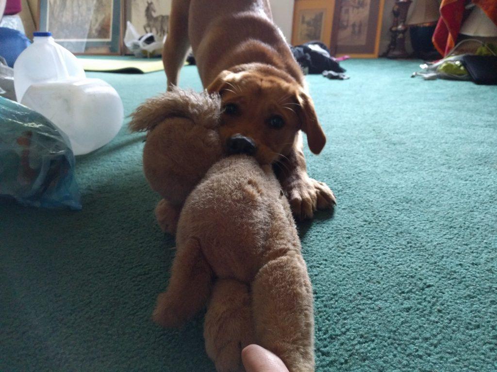 Chloé, la chienne de 5 mois de la famille