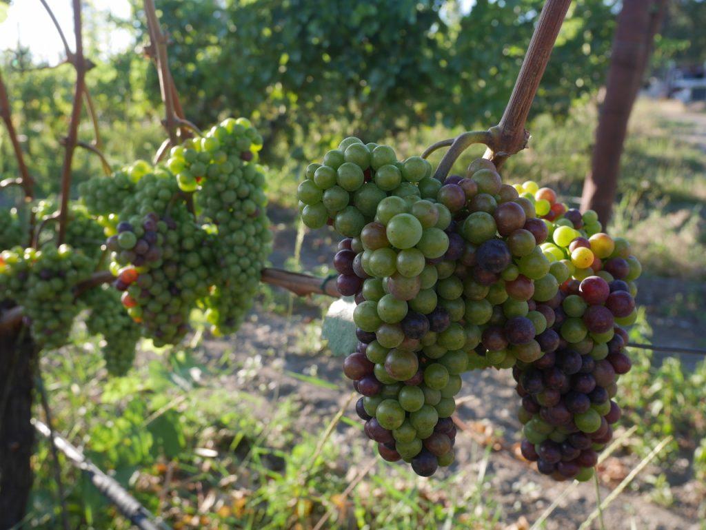 Les raisins seront bientôt prêts