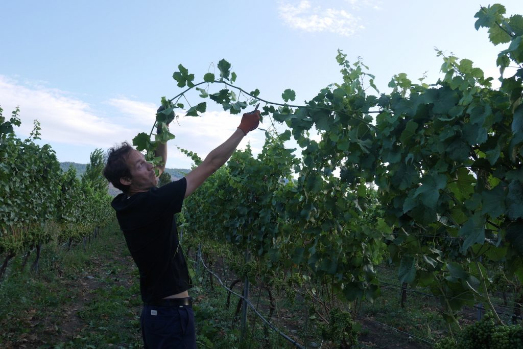 Overhanging grapes