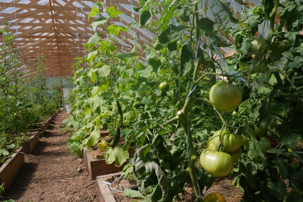 La serre à tomates