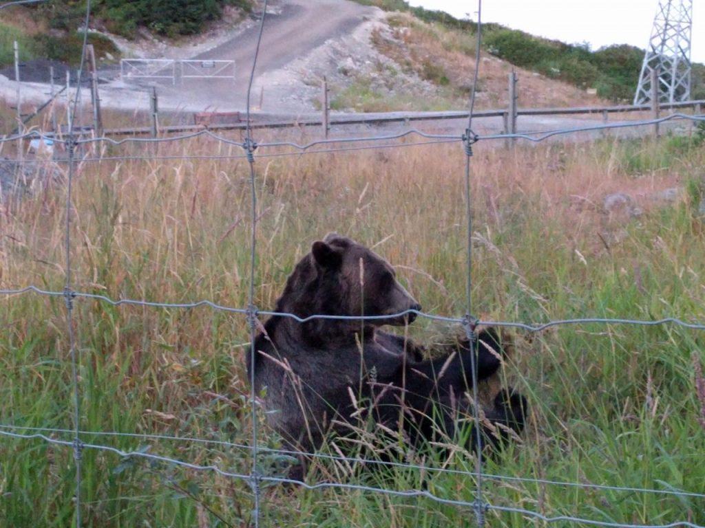 Ballade du soir en compagnie des grizzlys