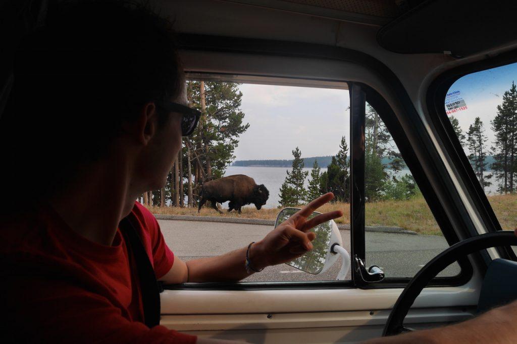 Les bisons omniprésents