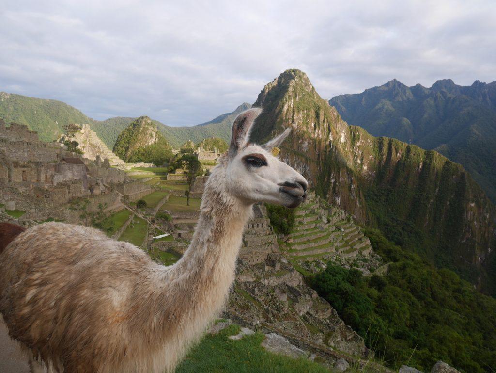 Les lamas sont des pros du photo bombing !