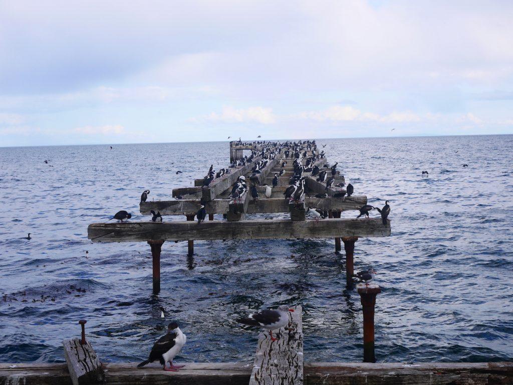 Les cormorans impériaux de Punta Arenas